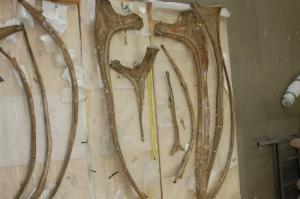 Various ribs of Brachiosaurs