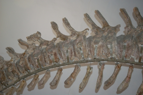 Mamenchisaurus tail with pathology