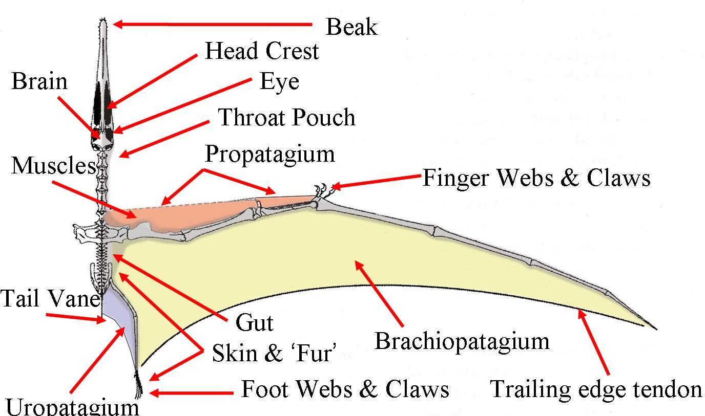 Bird Wing Anatomy Bones