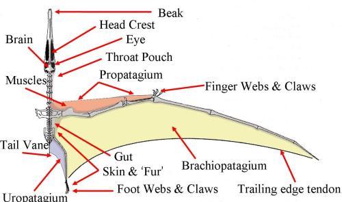 Various pterosaur soft tissues