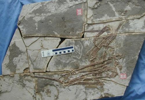 Longchengpterus