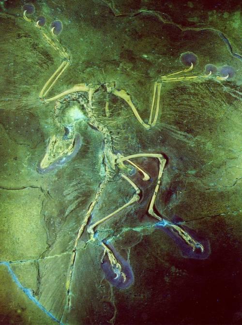 Berlin Archaeopteryx - Image H. Tischlinger