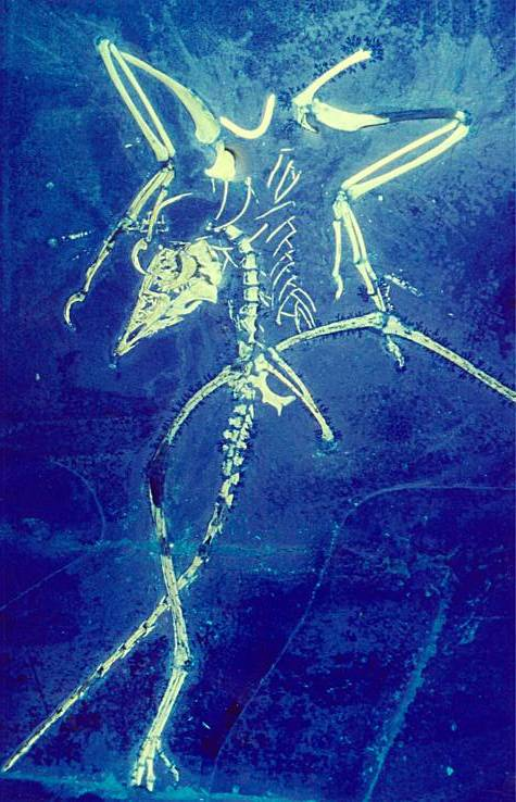 Thermopolis Archaeoperyx - Image H. Tischlinger