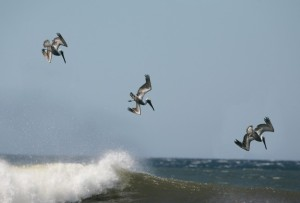 71163140afwyjlhqanimalsbirdswaterbirdspelicansdiving
