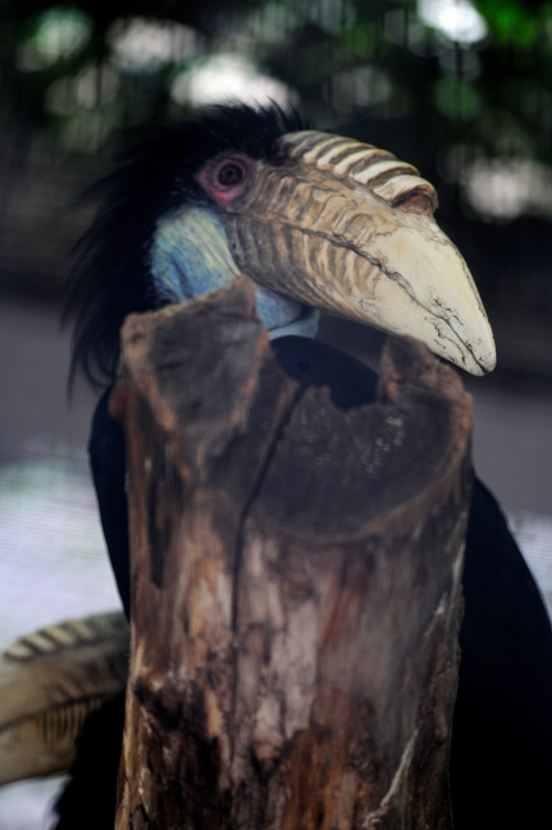 wreathed hornbill -52-16