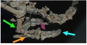 The hand of Mononykus showing the short but powerful arms (hunerus, green; radius and ulna, orange; finger, purple; claw, blue).
