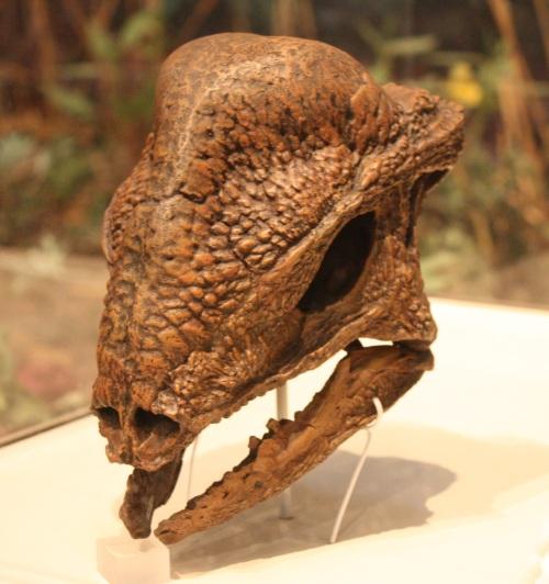 dinosaur head fossils