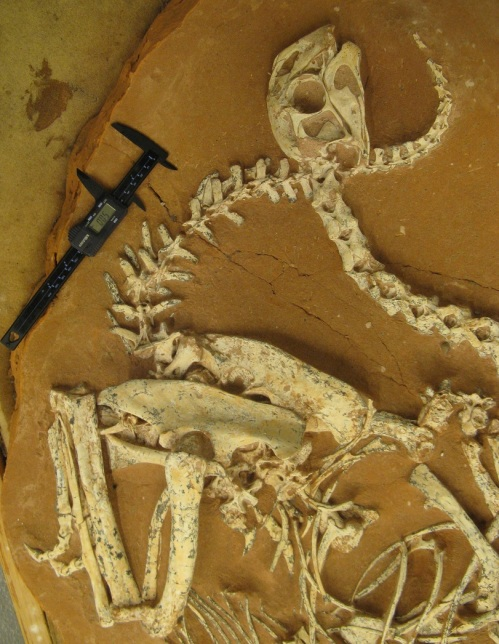The wonderfully preserved skeleton of the oviraptor Khaan mckennai.