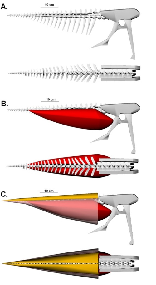 "Digital model of the tail skeleton and musculature of the oviraptor ""Ingenia"" yanshini. Three stages of reconstruction are shown: the tail skeleton modeled based on specimen measurements (A); the caudofemoral muscles (in red) modeled over the digital skeleton (B); and the full muscle reconstruction (C)."