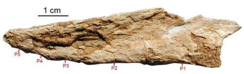 The pygostyle of the oviraptor Nomingia, composed of five fused tail vertebrae.