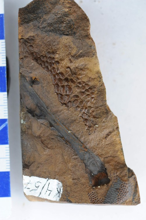 scales on distal tibia 2