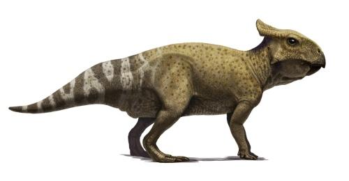 protoceratops juvenile-correct1