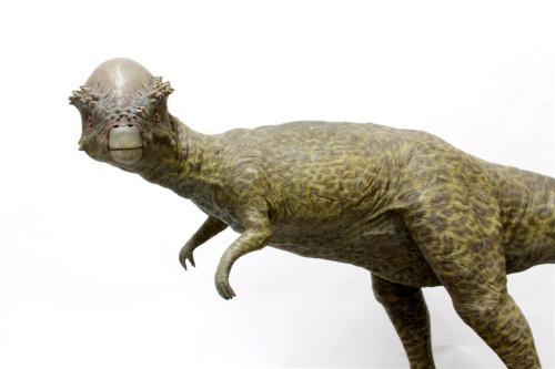 Stegocerus mid (Large)